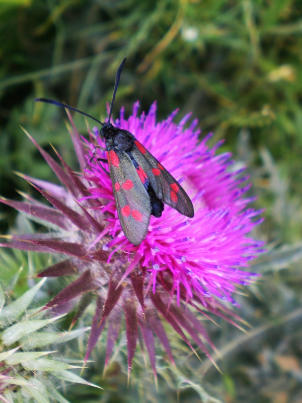 Burnet_Moth_On_Thistle.jpg