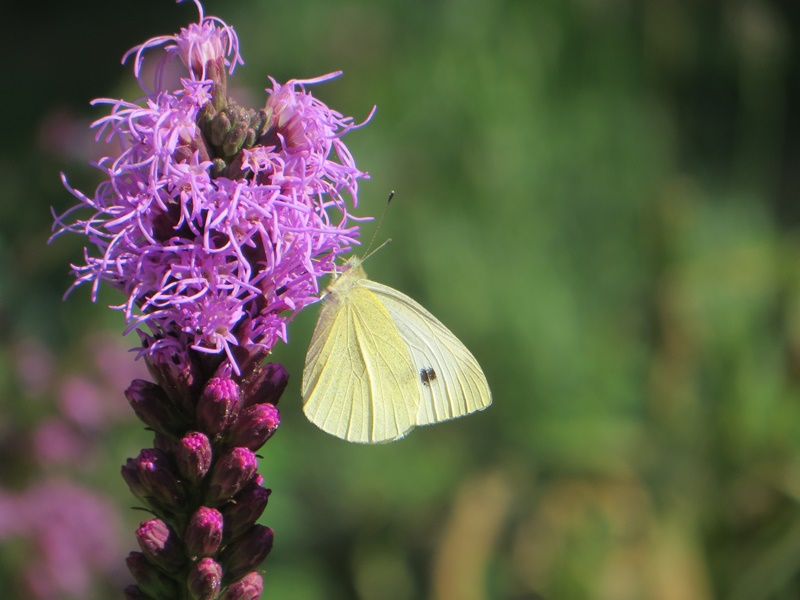 Liatris_and_Butterfly.jpg