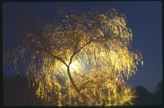 Weeping_Willow.jpg